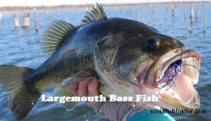largemouth Types Bass