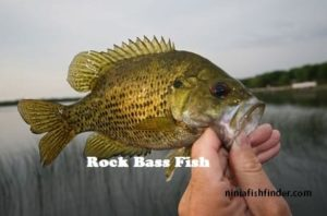 rock bass Types Bass