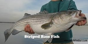striped bass Types Bass